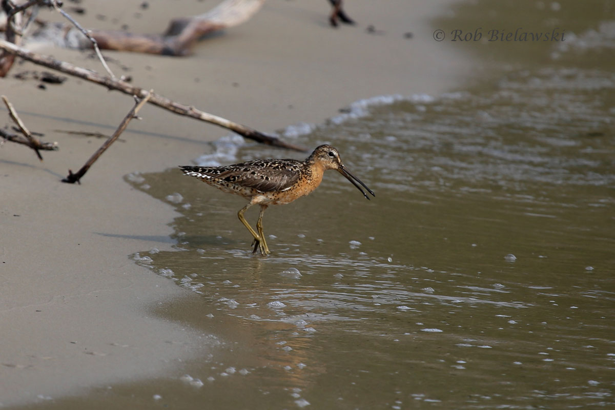 Also a first, Short-billed Dowitcher at First Landing State Park!