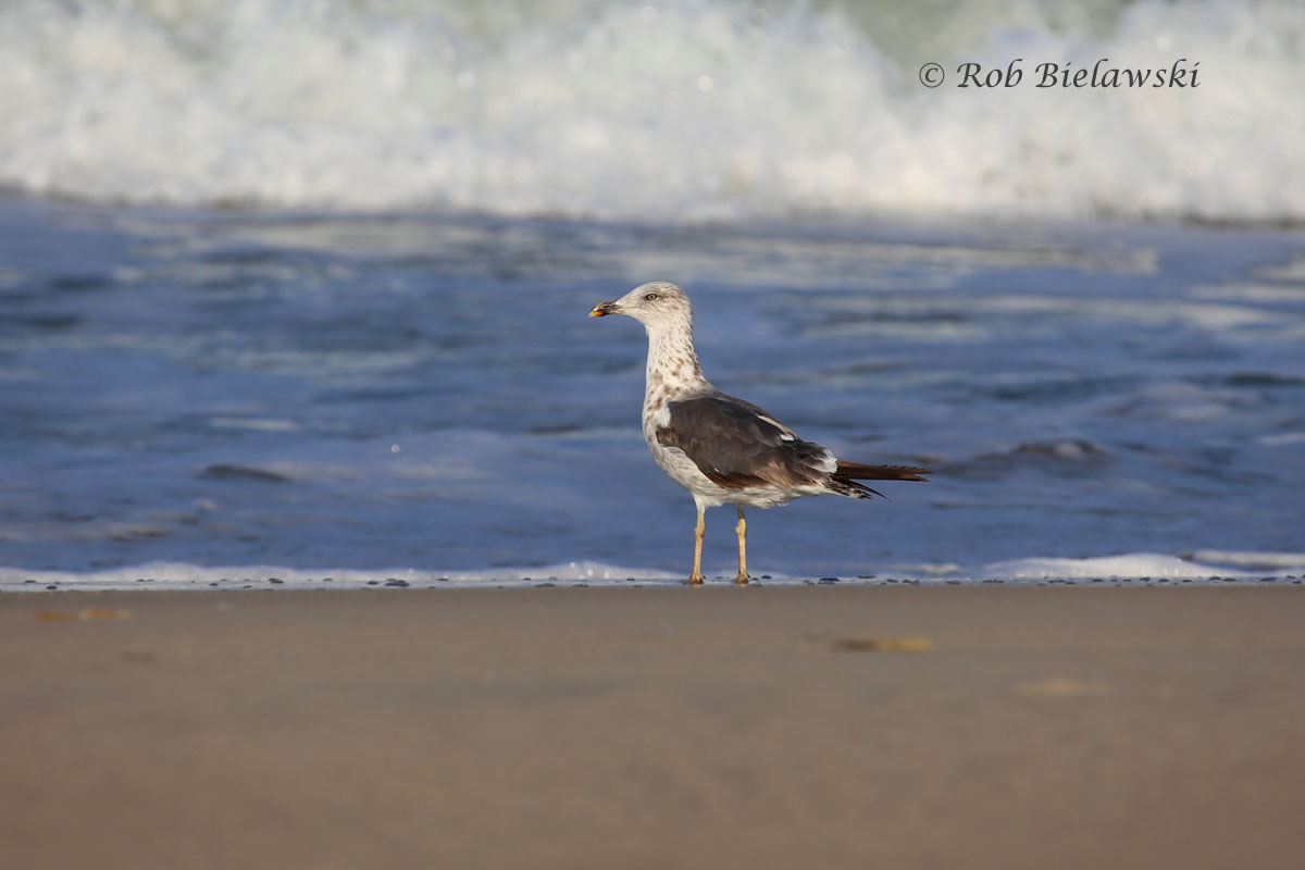 Lesser Black-backed Gull on the shore at Back Bay NWR!