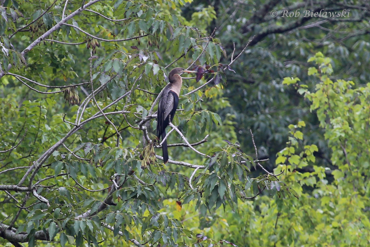 A new lifer for me, an Anhinga, seen off Blackwater Road in Chesapeake!