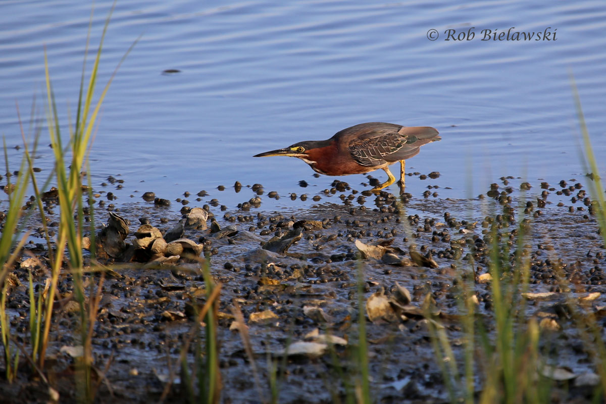 Green Heron feeding on the oyster flats during low tide at Pleasure House Point!