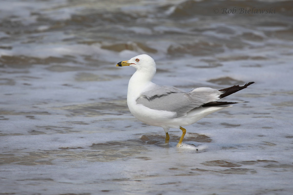 Breeding adult Ring-billed Gull hopping in the shallow beach water at Fort Story!