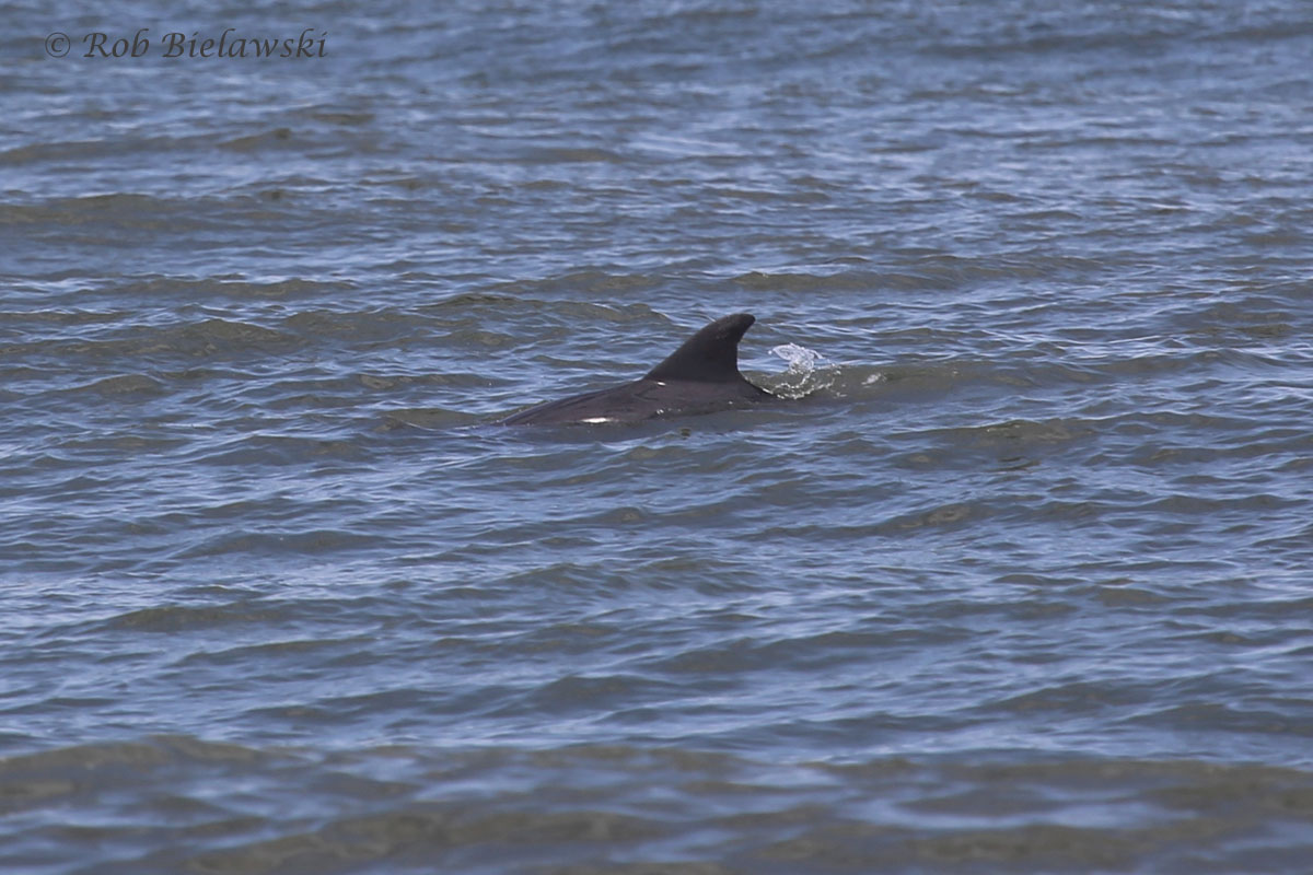 Bottlenose Dolphin just offshore near Fort Story!!