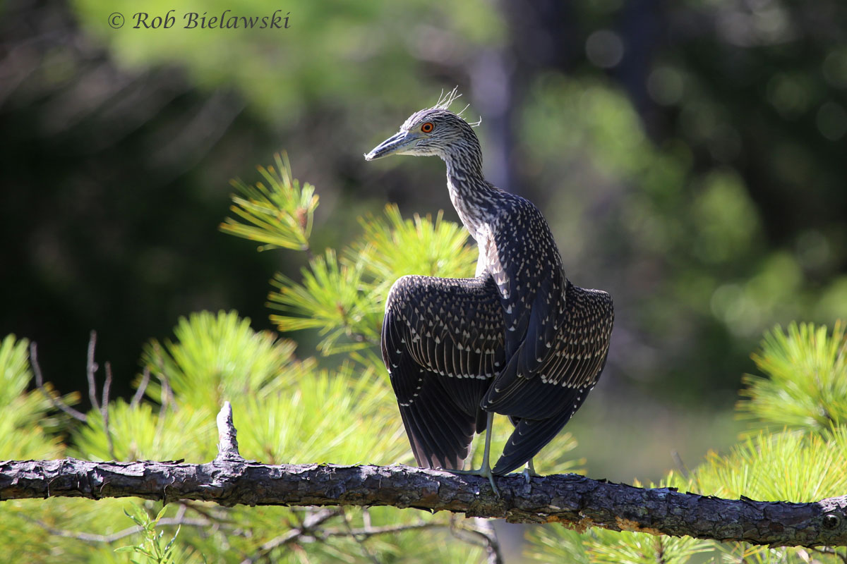 Immature Yellow-crowned Night-Heron sporting some new crest feathers!