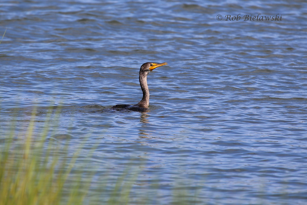 Double-crested Cormorant swimming in Pleasure House Creek.