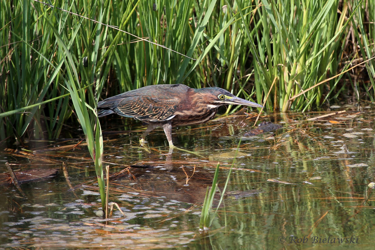 Immature Green Heron hanging out at Pleasure House Point in the freshwater shallows.