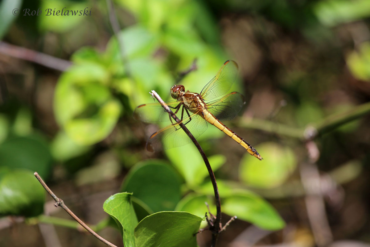 One of the thousands of Dragonflies that have taken over Back Bay NWR with the warmer weather moving in to the region.