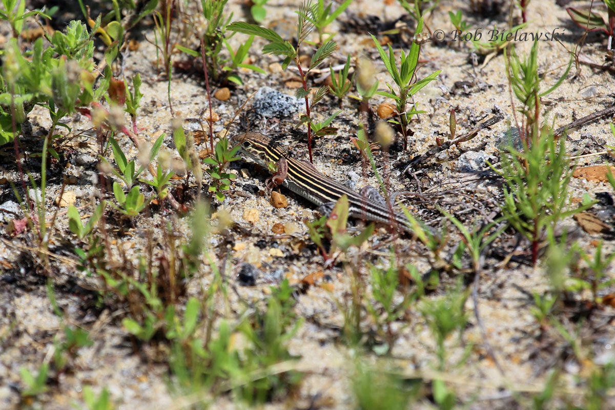 The extremely small & fast Six-lined Racerunner!