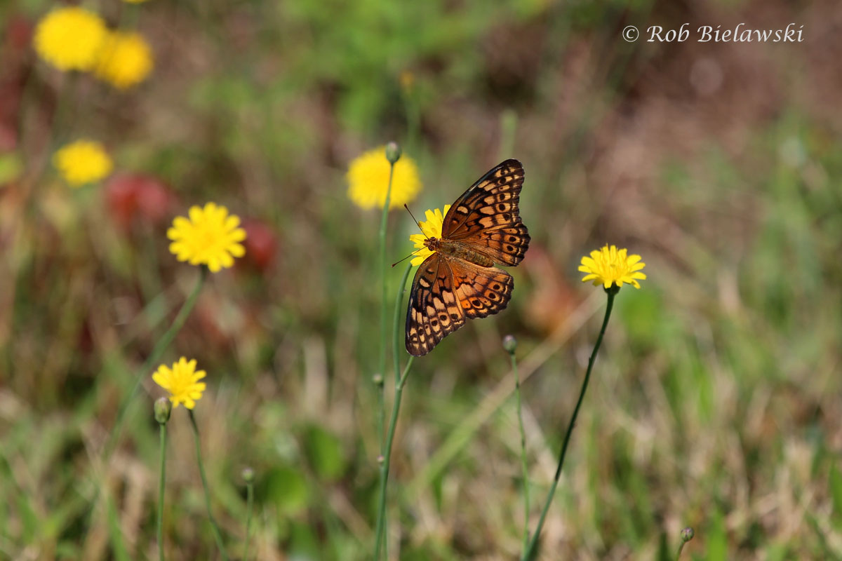 A Variegated Fritillary seen at Back Bay NWR among some Dandelions.