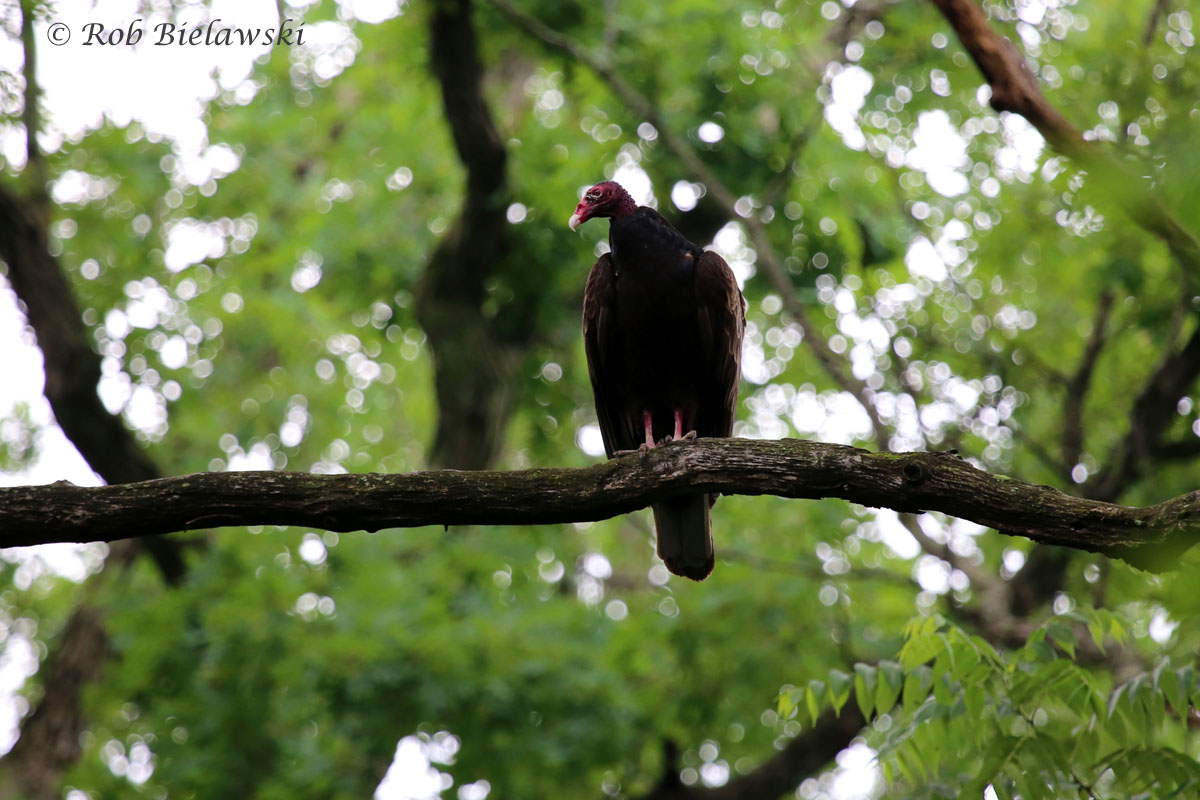 A rather large Turkey Vulture perched low to the ground at Plum Creek Nature Preserve.
