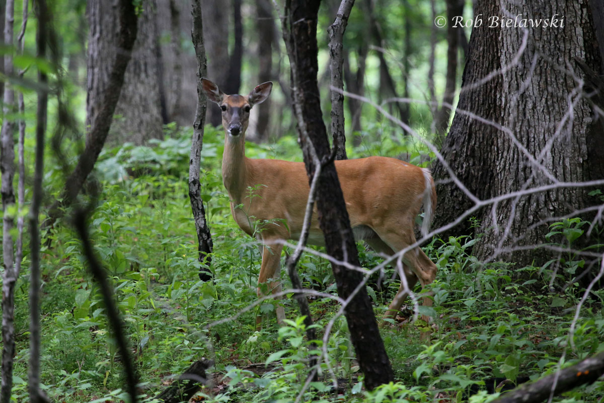 One of the many White-tailed Deer encountered at Plum Creek Nature Preserve.