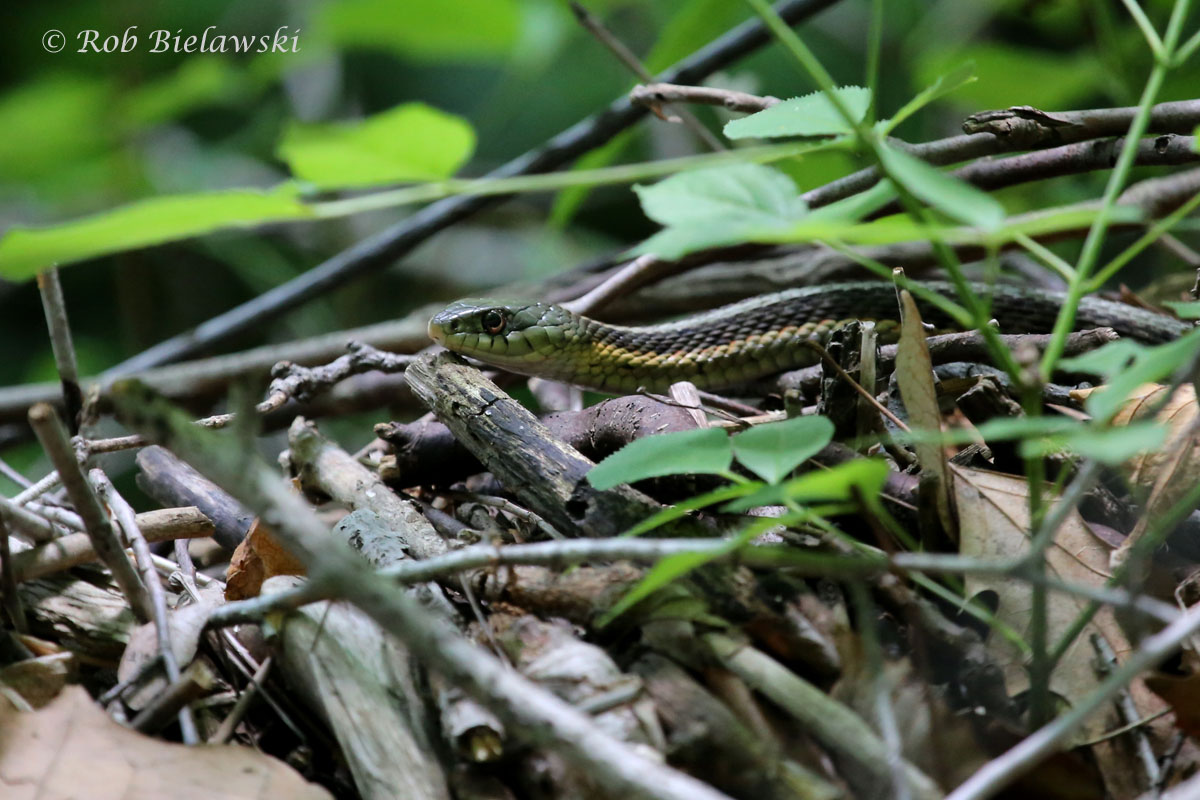 Eastern Garter Snake along Sugar Creek at Turkey Run State Park.