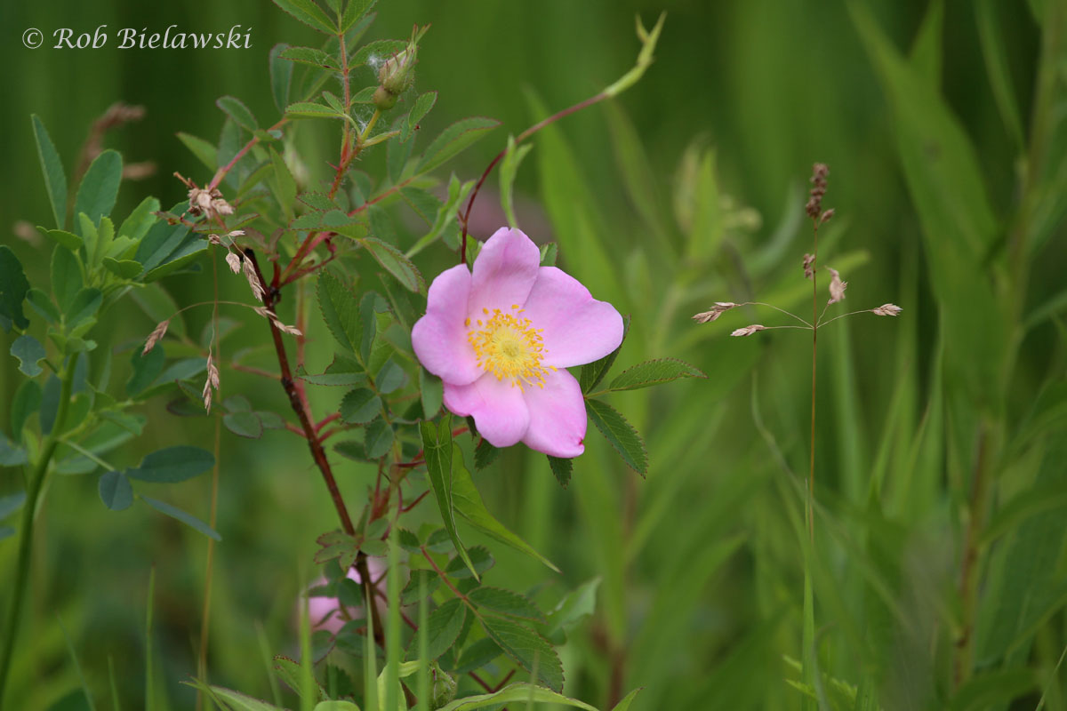 Wild Rose at Plum Creek Nature Preserve!