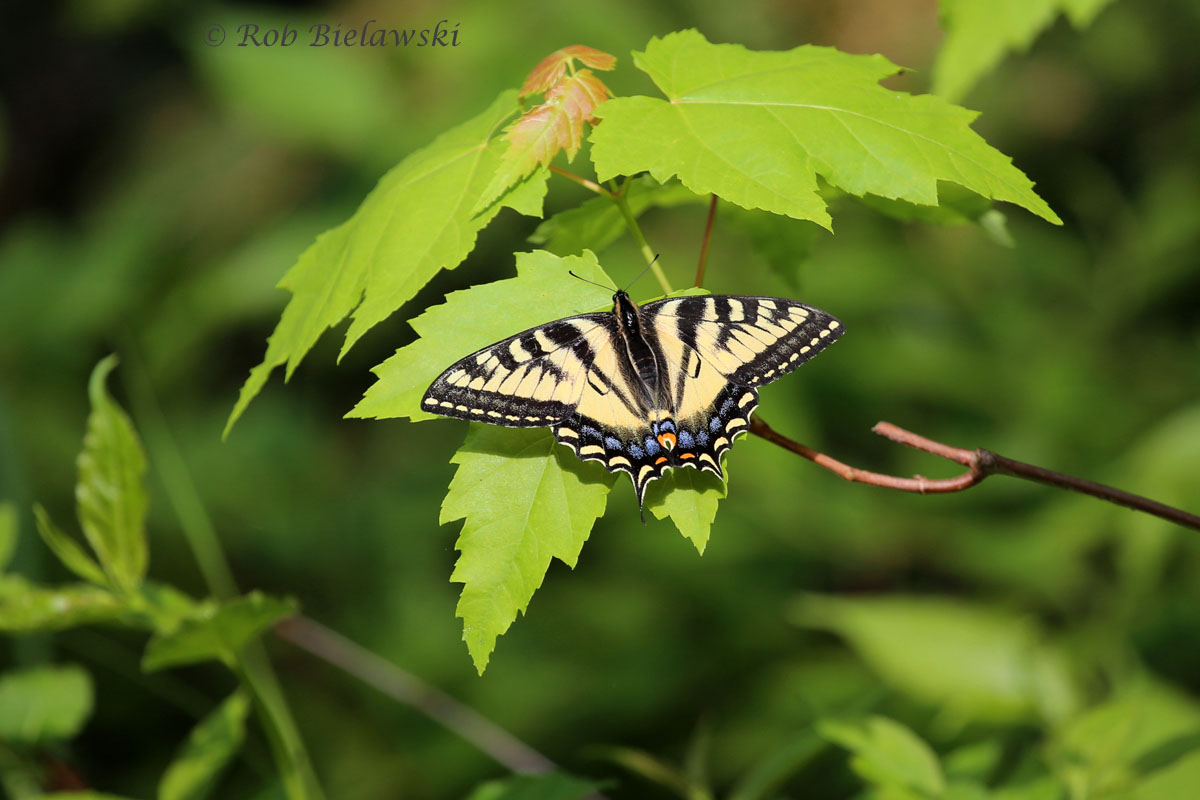 Tiger Swallowtail sighted along the logging road.