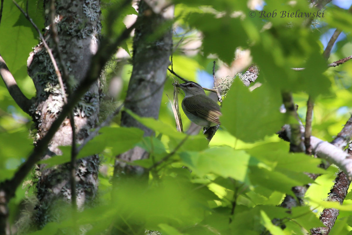 A Red-eyed Vireo carrying some nesting materials for it's nest located adjacent to the logging road.