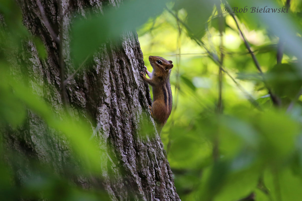 Eastern Chipmunk at Indiana Dunes State Park, Chesterton, IN.