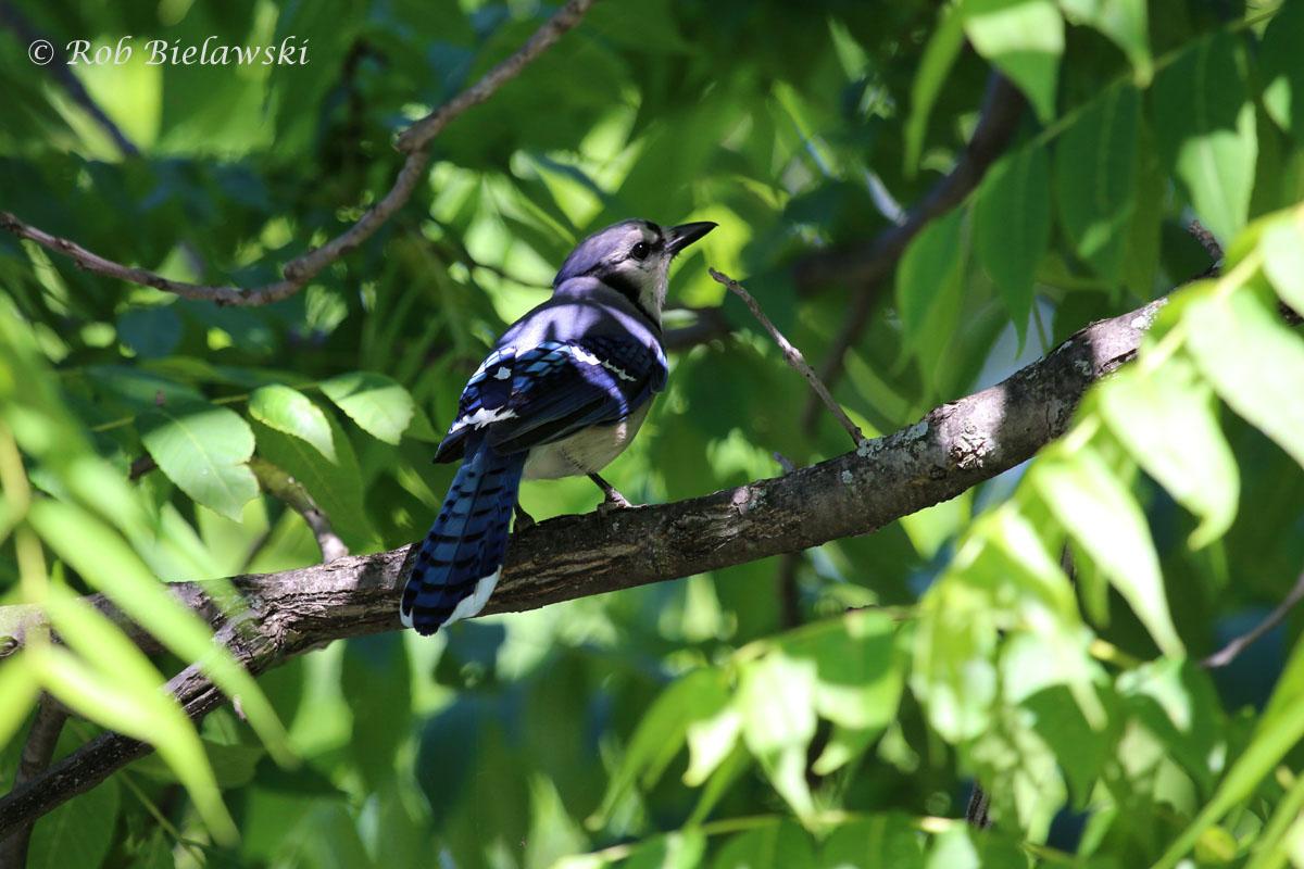 Blue Jay at Loth Springs, Waynesboro, VA.