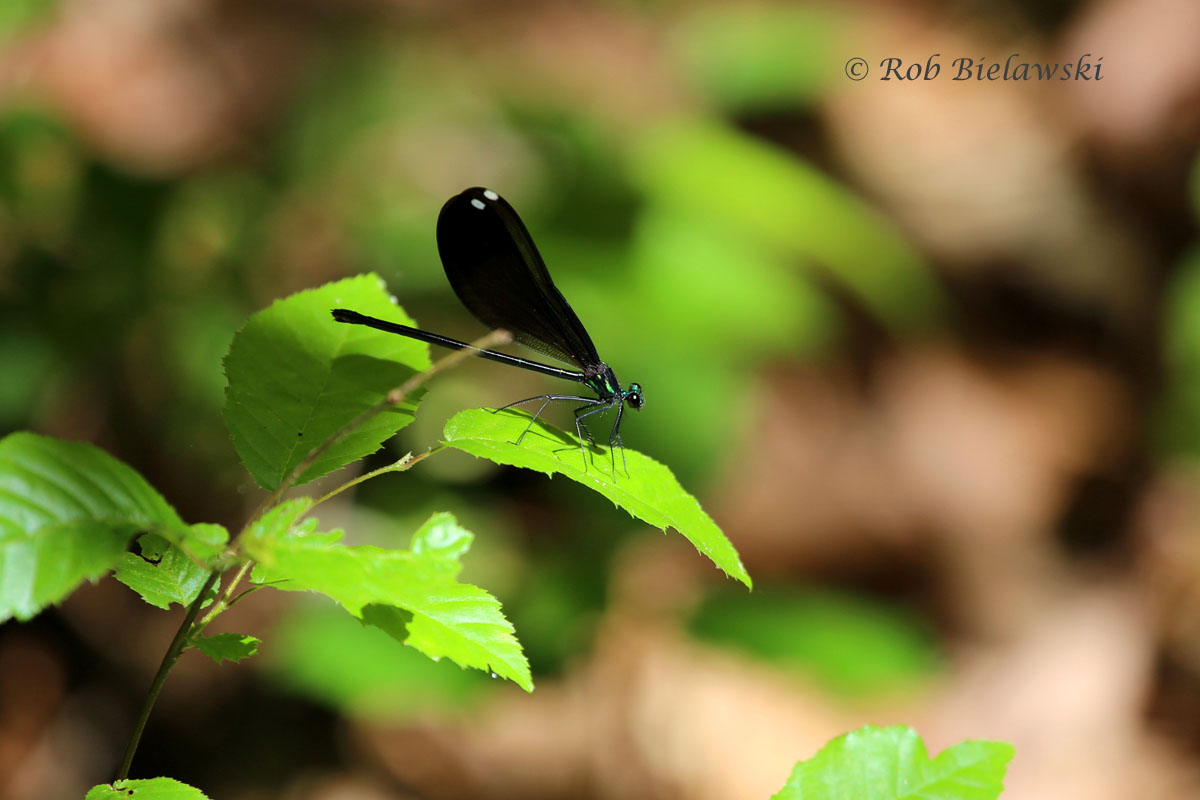 A beautiful green & black species of Damselfly seen at Raven Rock State Park!