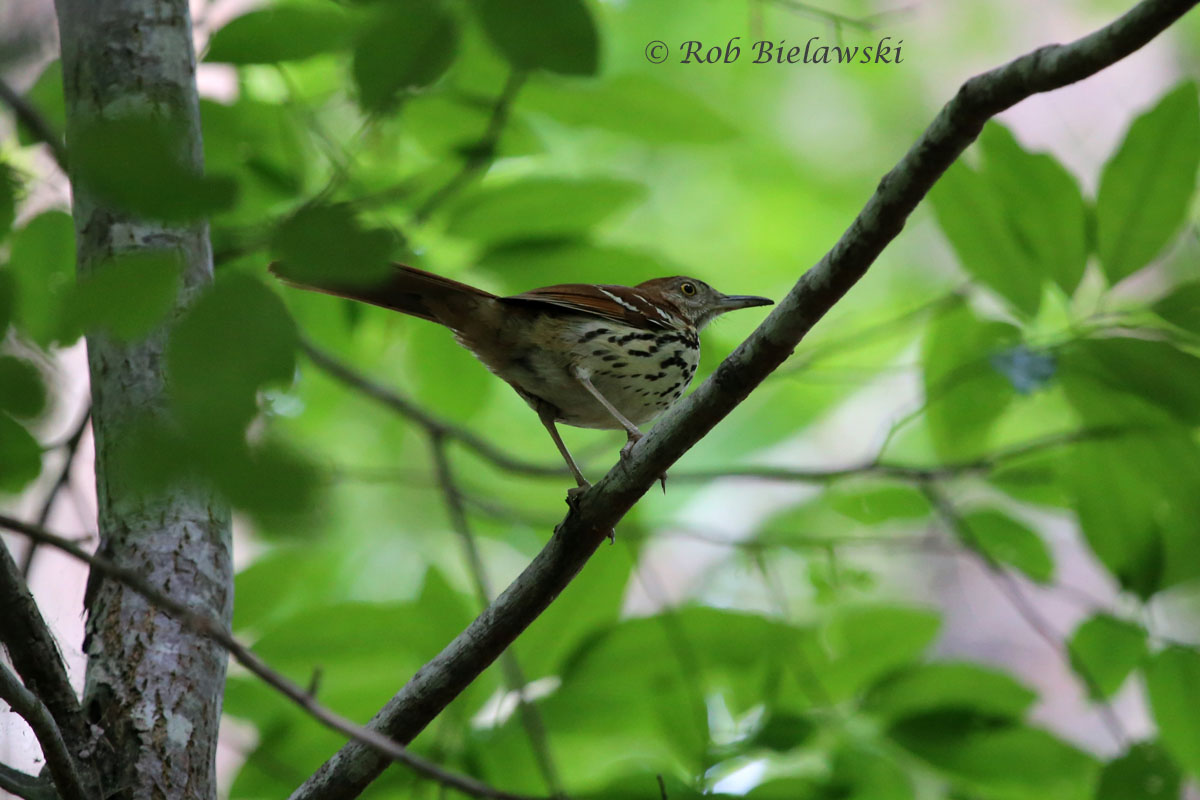 A raucous Brown Thrasher that was singing from it's perch at Raven Rock State Park!