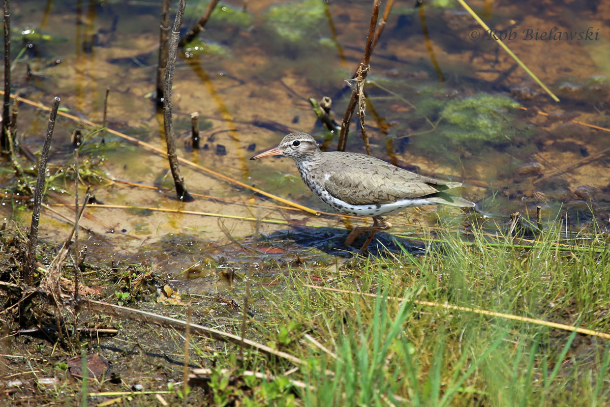 A tiny Spotted Sandpiper feeding its way along the shore of the F Pool at Back Bay NWR!