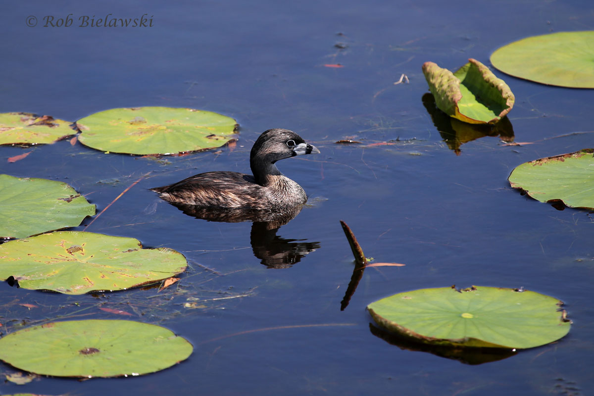 A lone Pied-billed Grebe in breeding plumage at Back Bay NWR!