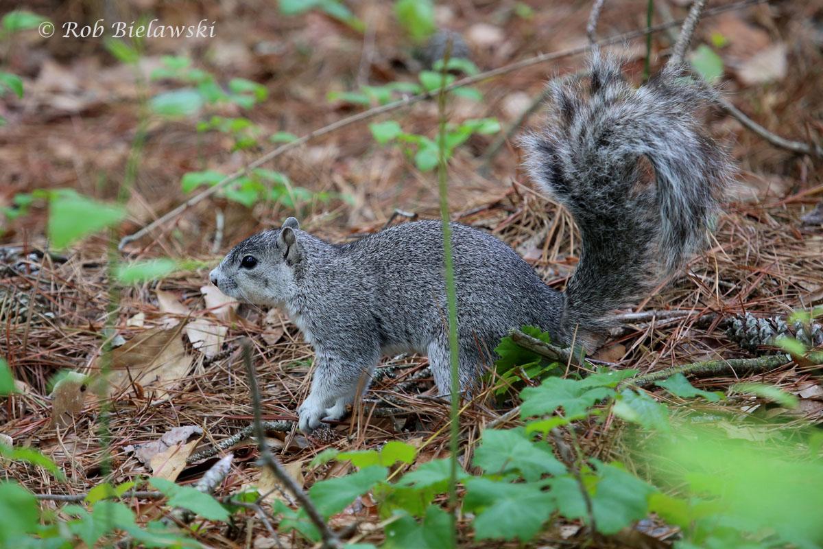 The endangered, and adorable, Delmarva Fox Squirrel!