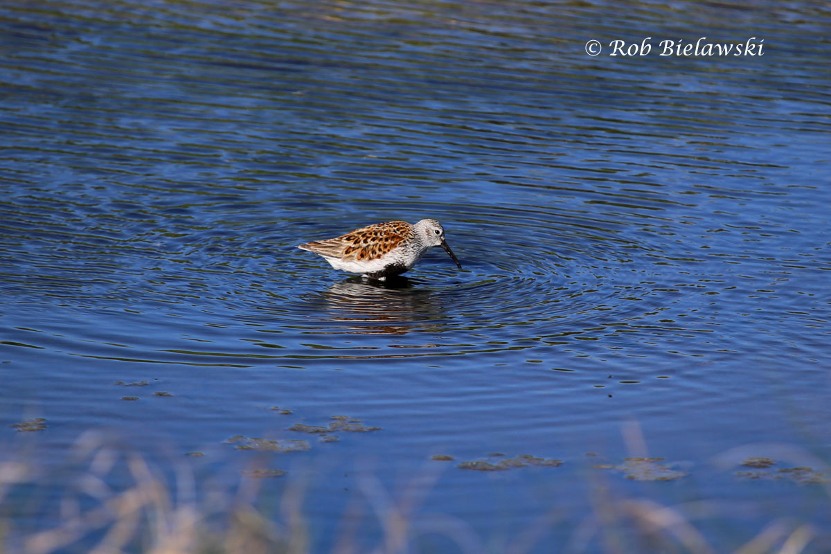A Dunlin showing it's breeding plumage (black belly and rufous back) at Chincoteague NWR!