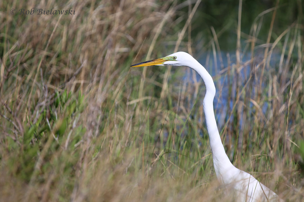 Great Egret in the flooded marsh of Pleasure House Point!