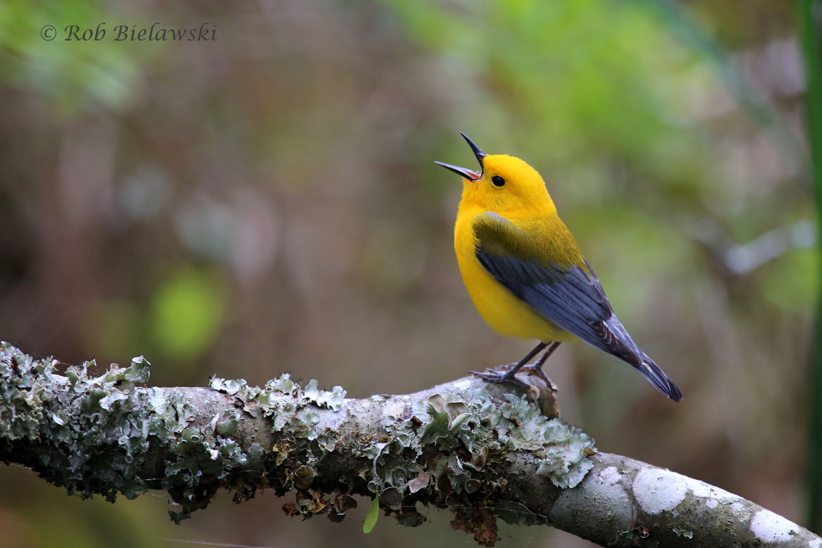 Prothonotary Warbler that put on quite a show along the Bay Trail before disappearing into the marsh!