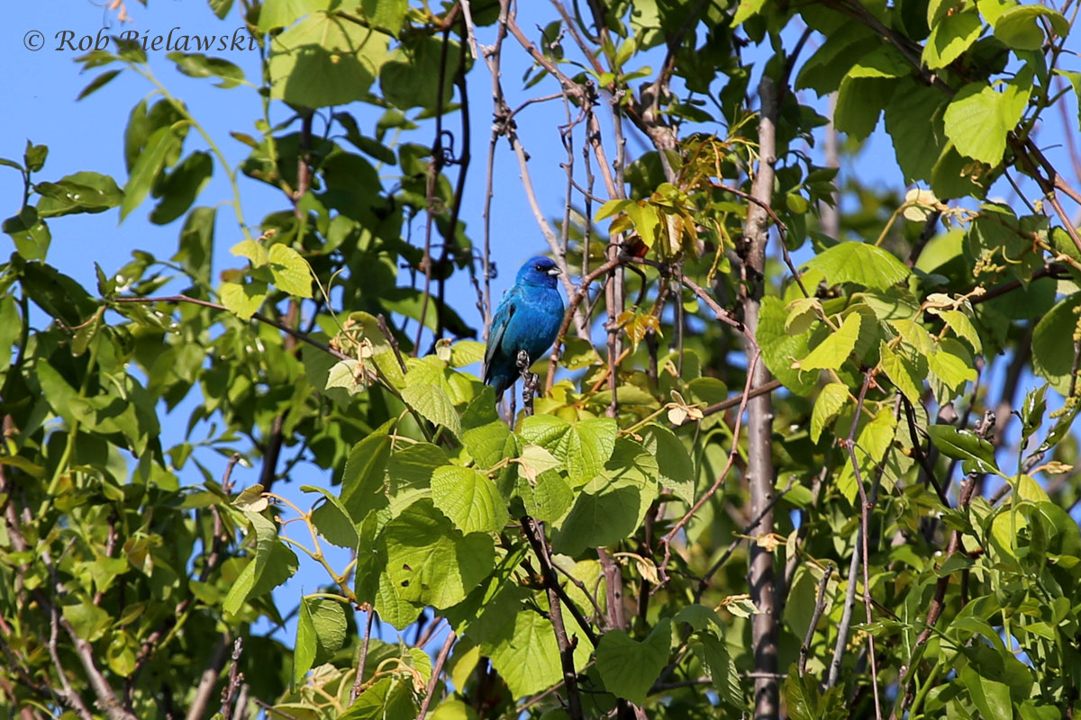 First time this year getting close enough for a decent Indigo Bunting shot!