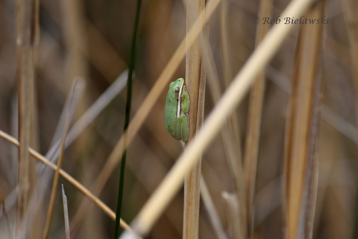 Two days in a row seeing Green Treefrogs!