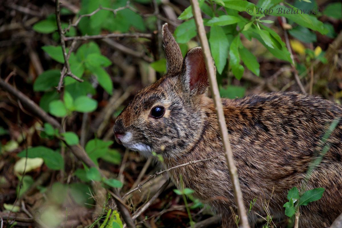 Marsh Rabbit along the Bay Trail of Back Bay NWR!