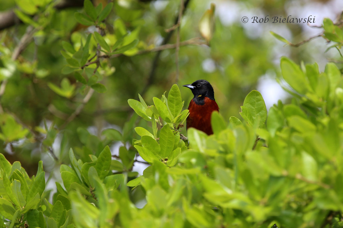 Finally got a decent photograph of a male Orchard Oriole at Back Bay!