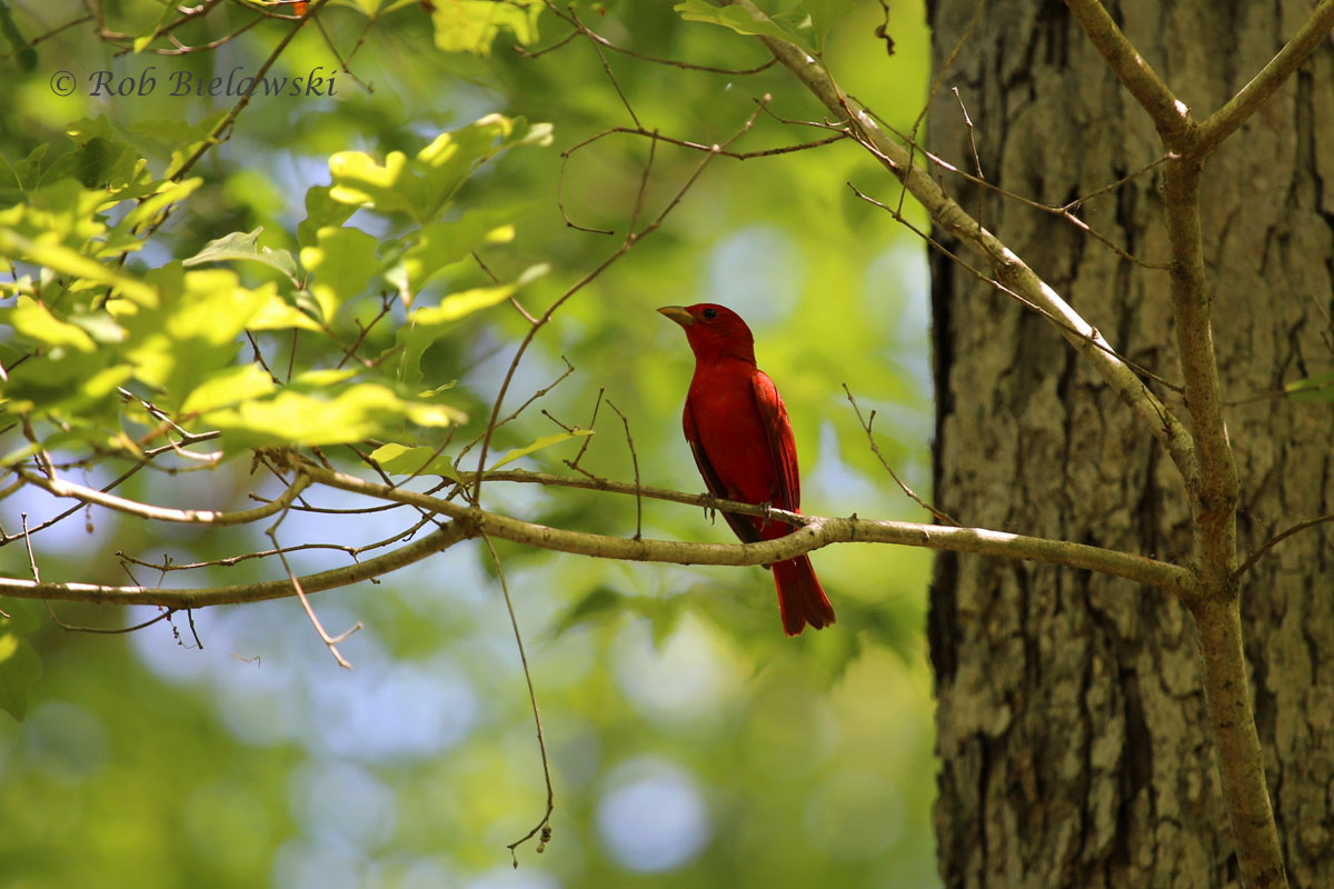 First Summer Tanagers of the season at Merchants Millpond State Park!