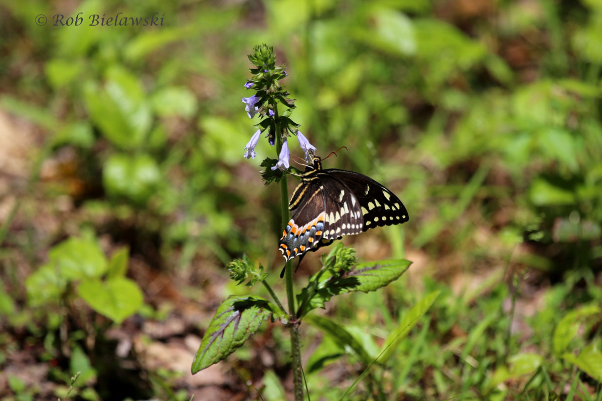 Black Swallowtail at Great Dismal Swamp NWR!