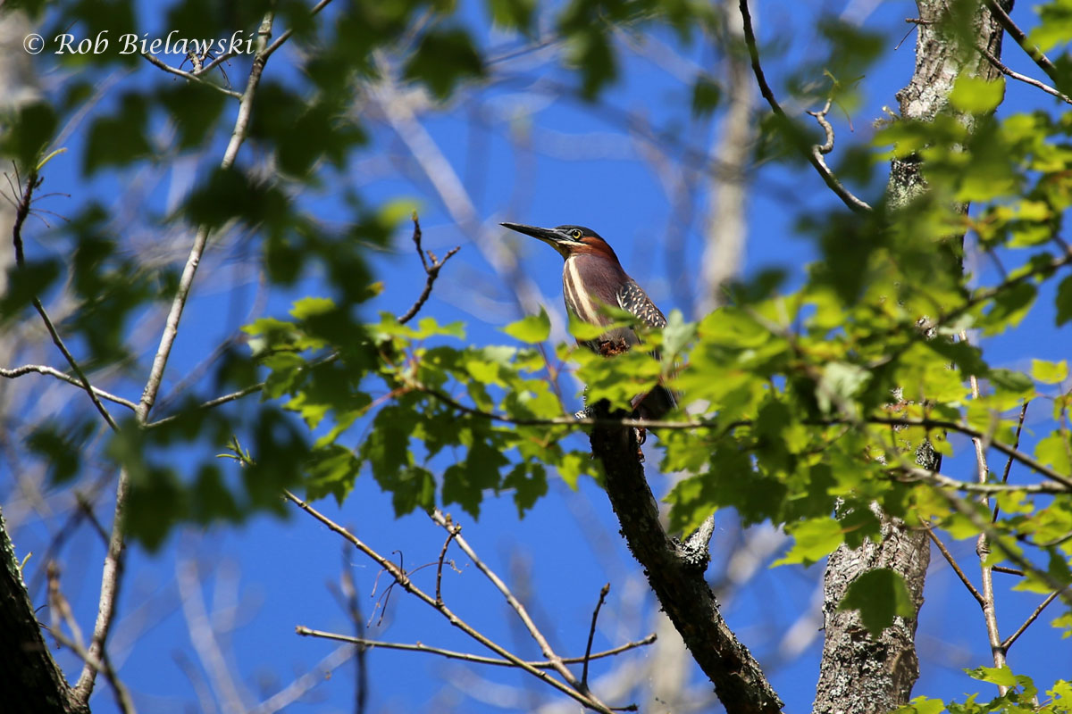 Green Heron in the canopy of Great Dismal Swamp NWR!