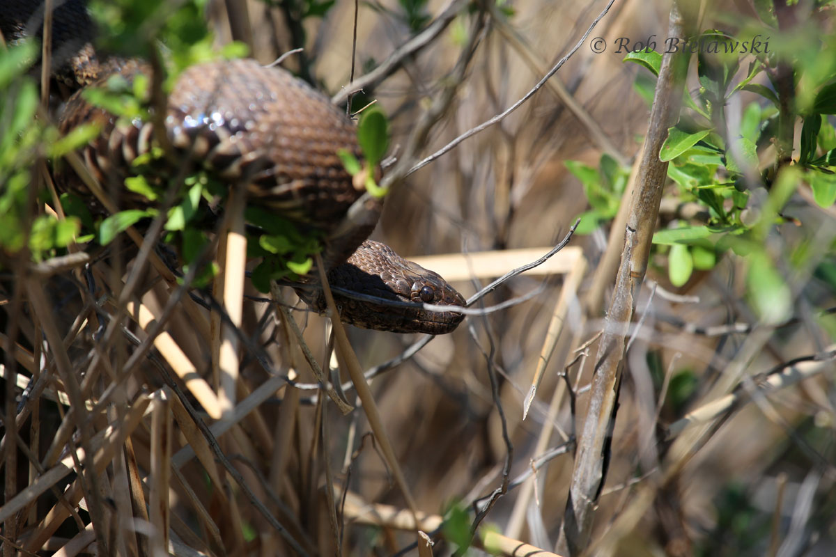 Brown Watersnake, far from the water, at Back Bay NWR.