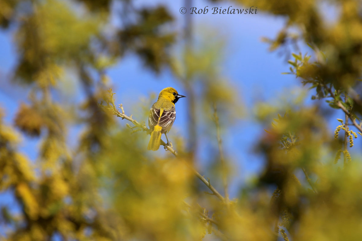 A 1st year spring male Orchard Oriole at Back Bay NWR, first one of the season.
