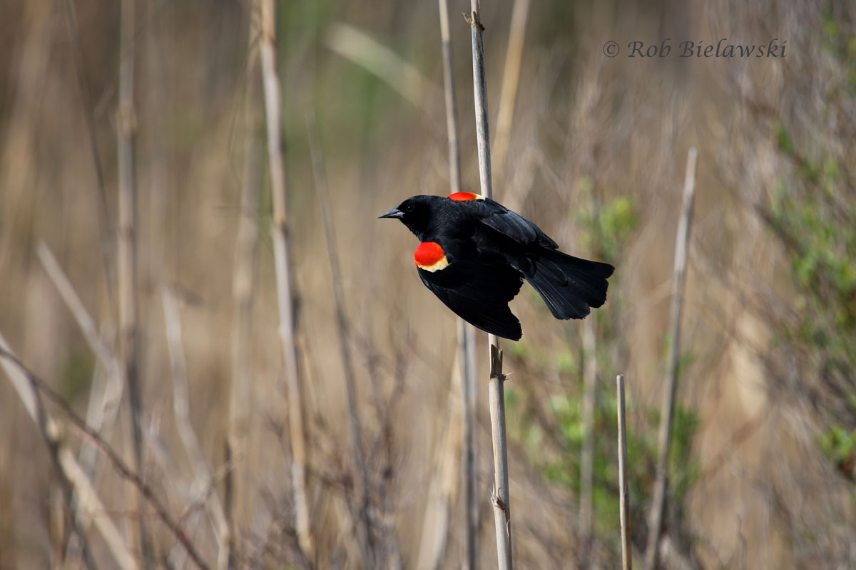 Red-winged Blackbird perching on a cattail at Back Bay NWR.