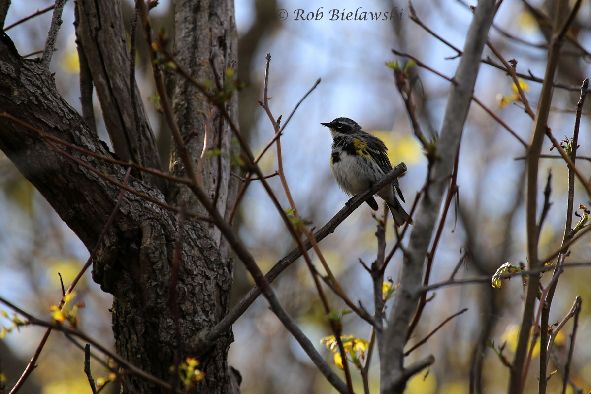 Yellow-rumped Warbler in breeding plumage at Back Bay NWR.