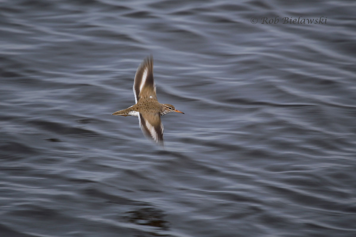 Spotted Sandpiper in flight over the impoundments of Back Bay NWR.