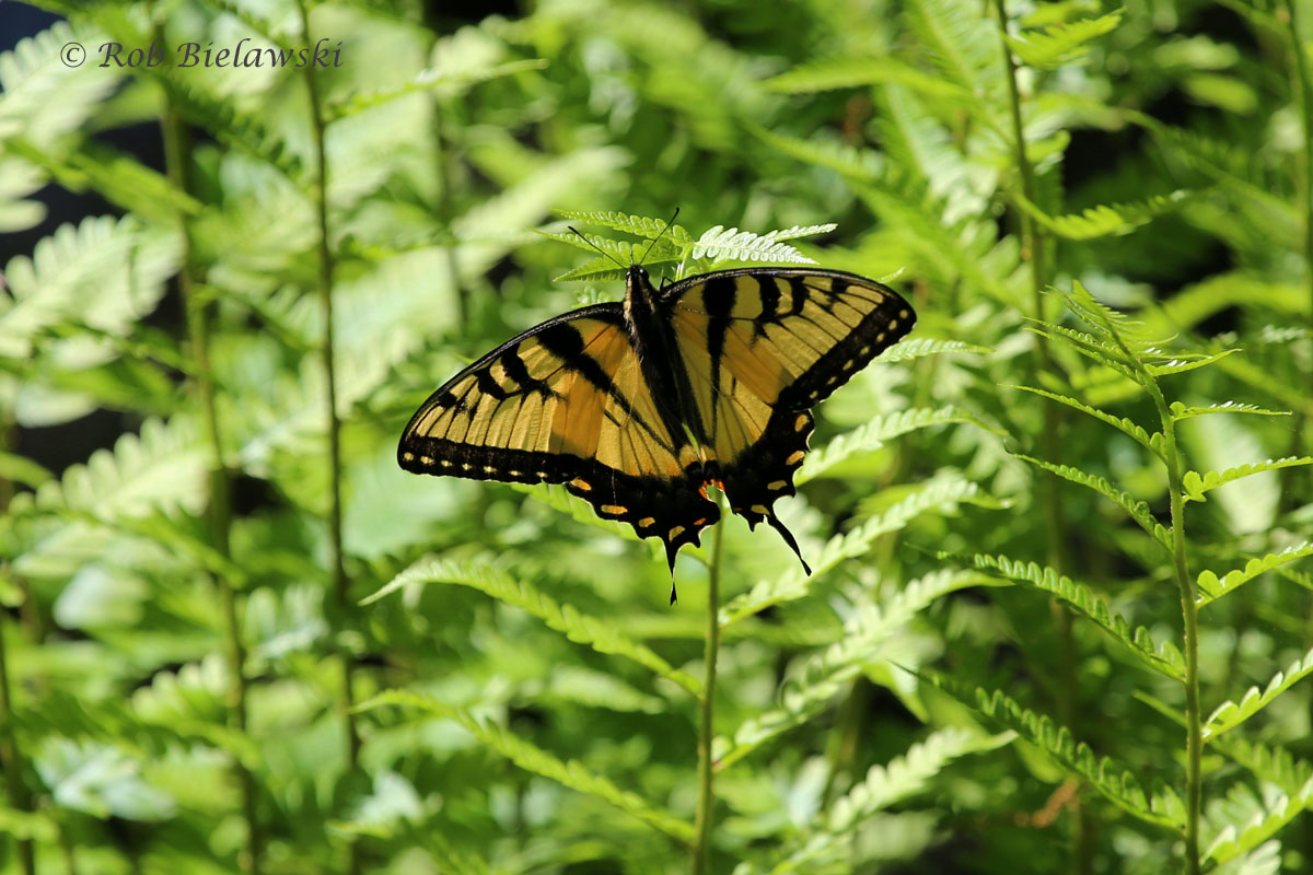 Tiger Swallowtail showing it's yellow against the green background of the swamp.