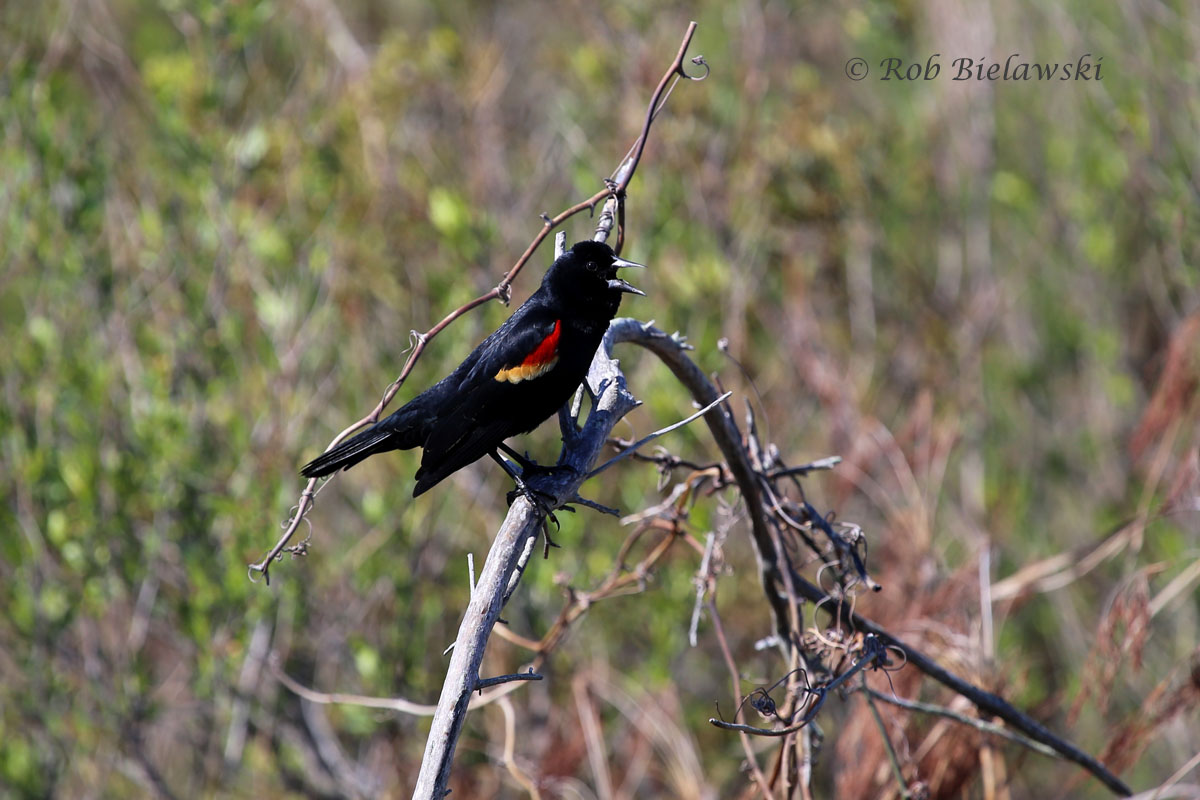 Red-winged Blackbird telling me to go away!