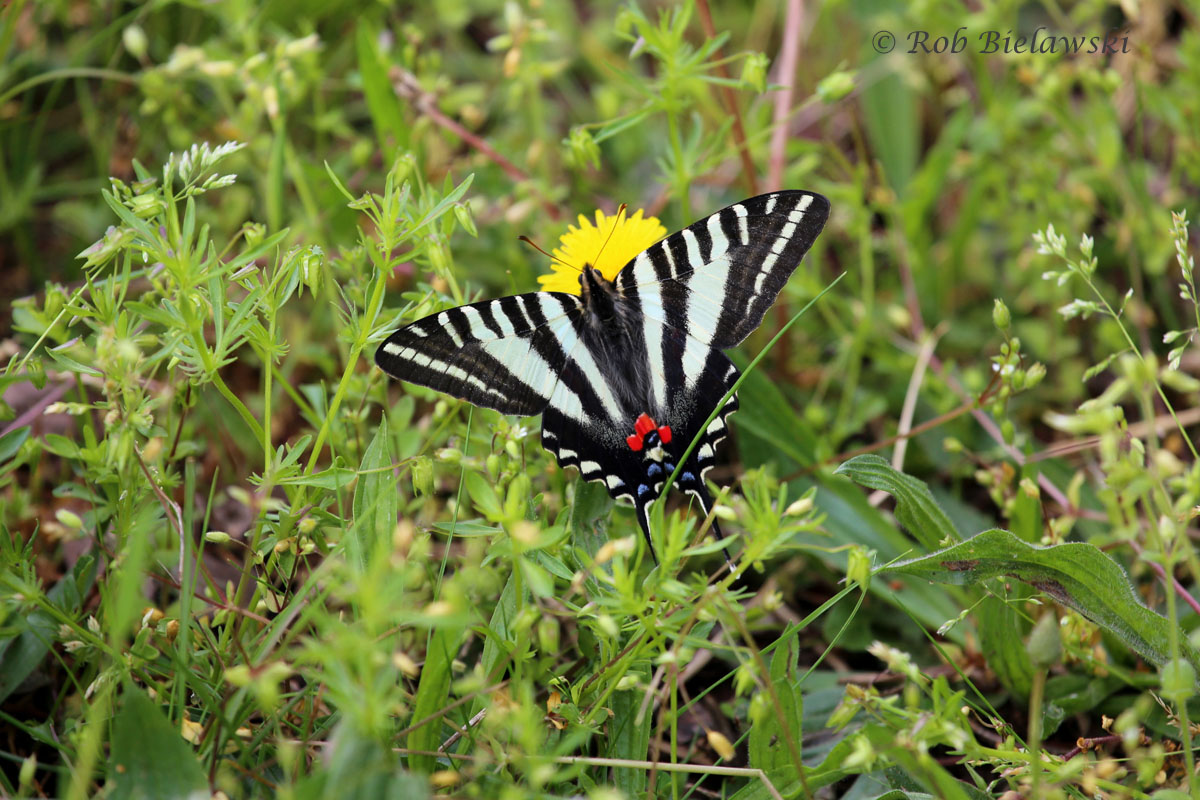 Another species of butterfly that was very numerous, Zebra Swallowtail.