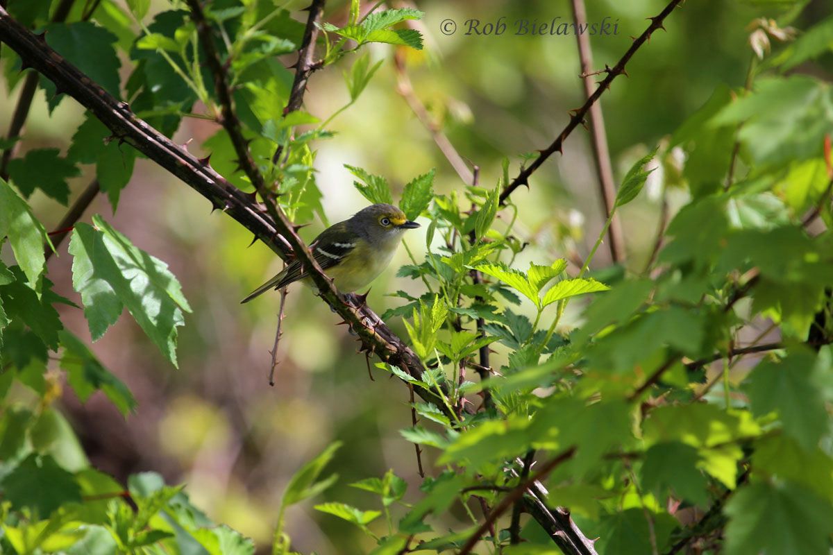 First White-eyed Vireo of the season!