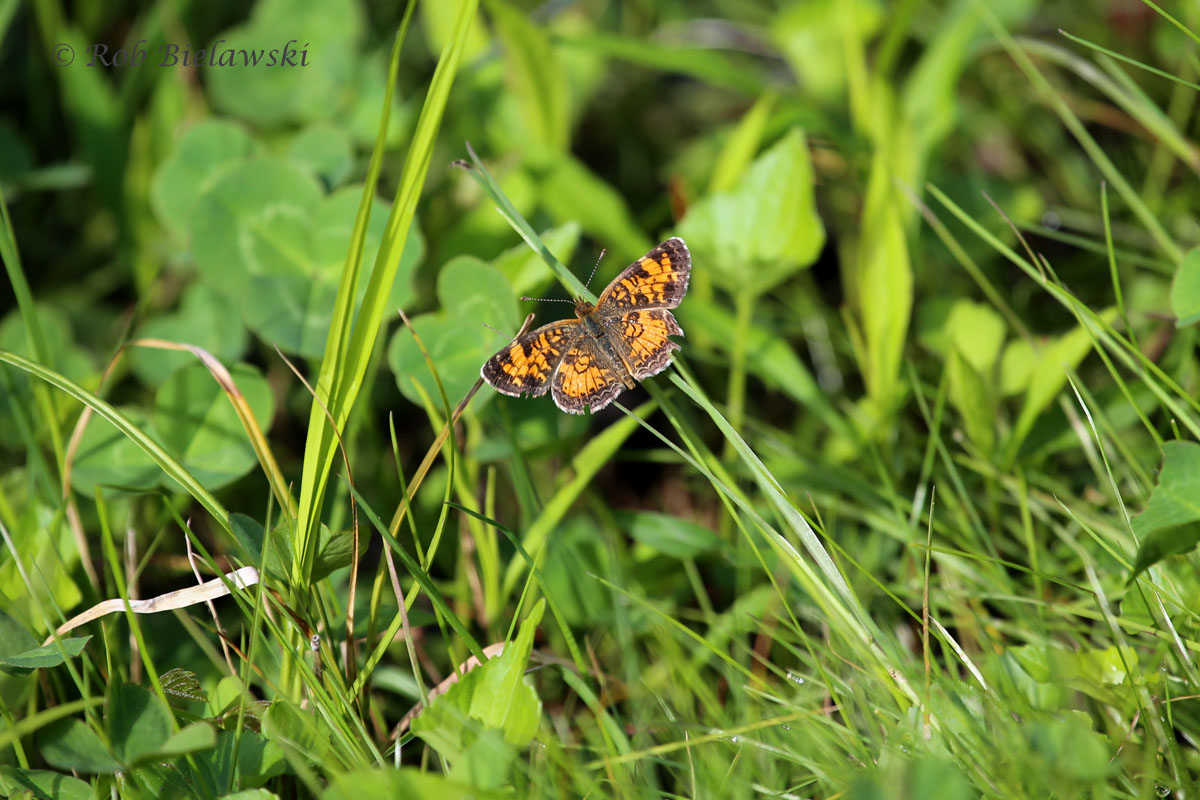 A Pearl Crescent, one of several species of butterflies seen at the Great Dismal Swamp NWR.