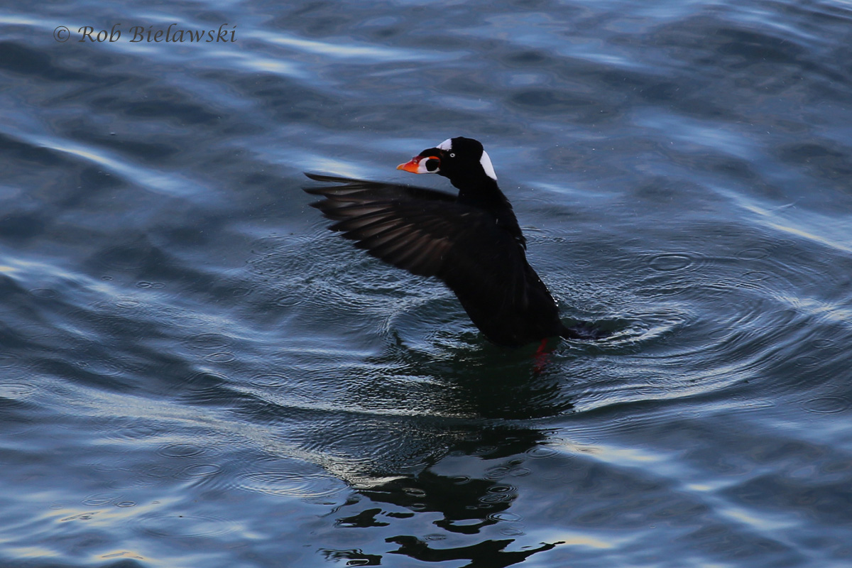 A male Surf Scoter flapping its wings off South Thimble Island on the Chesapeake Bay Bridge-Tunnel.