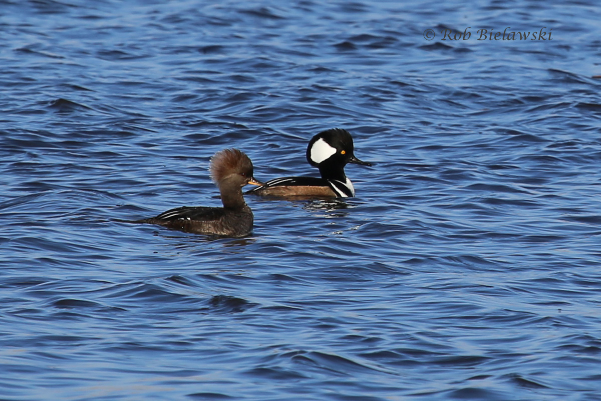 A pair of Hooded Mergansers on the waters of Back Bay!