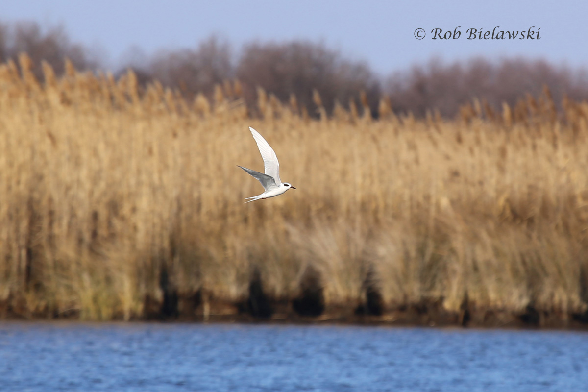 My first Forster's Tern of the year, flying over Back Bay.
