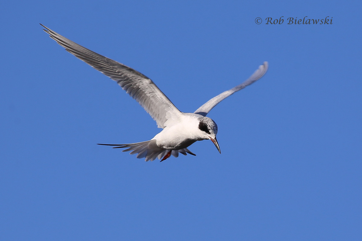 A closeup shot of one of the Forster's Terns that hovered over me searching for fish.