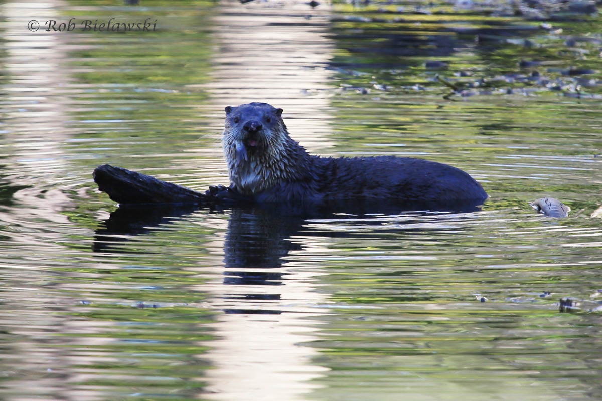 The Kings Grant River Otter, seen on my way home on Saturday!